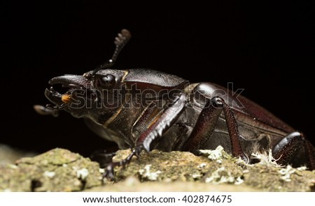 Female stag beetle, Lucanus cervus on wood