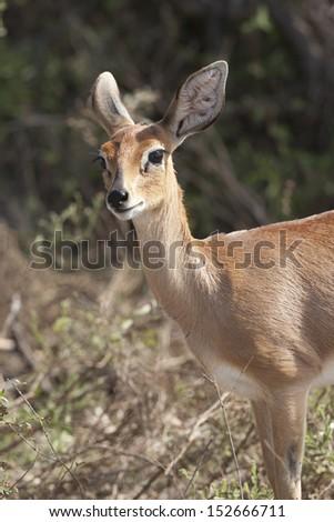 Female Steenbokkie - stock photo