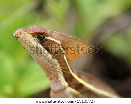 Female Striped Basilisk - stock photo