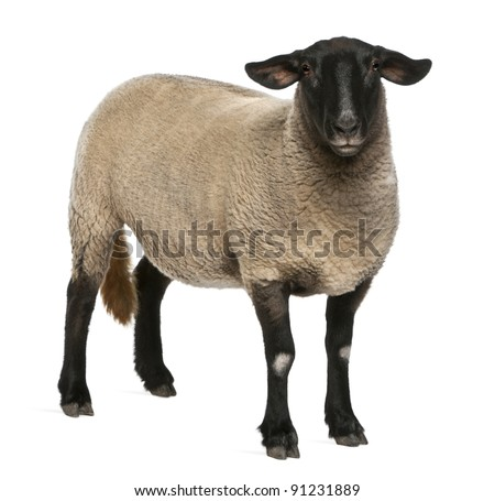Female Suffolk sheep, Ovis aries, 2 years old, standing in front of white background - stock photo