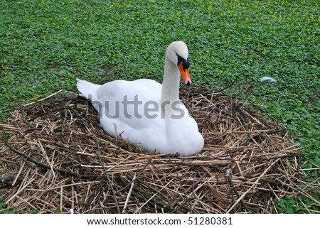 Female swan resting on her nest in spring. - stock photo