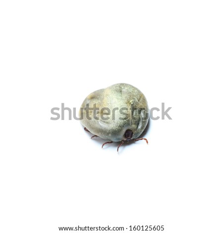 female tick on a white background - stock photo
