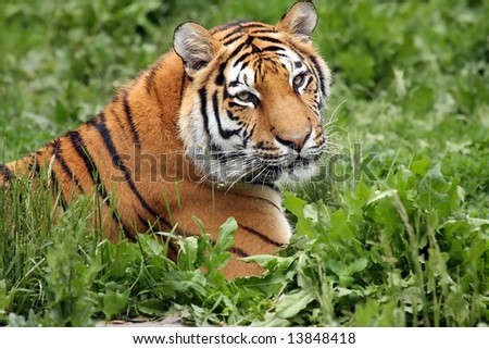 Female Tiger laying in the grass. - stock photo