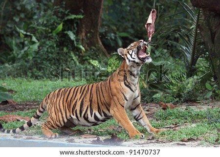 Female tiger ready to catch her lunch. - stock photo