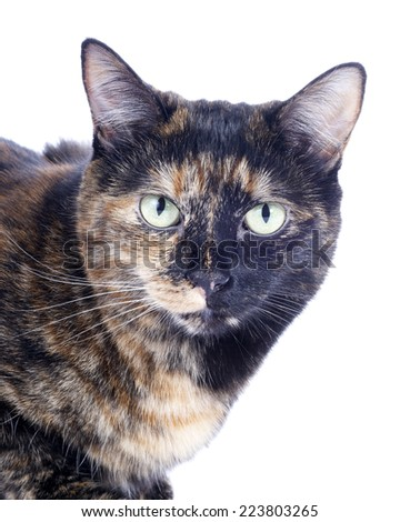 Female Torbie Tabby cat crouched down watching. Portrait close up of head  - stock photo