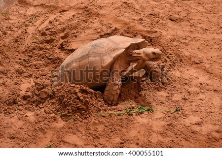 Female tortoise laying eggs - stock photo