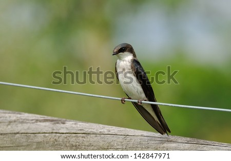Female Tree Swallow Perched on a Fence Wire - stock photo