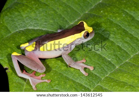 Female Upper Amazon Treefrog (Dendropsophus bifurcus), Ecuador