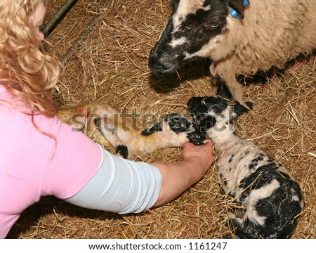 Female Vet checking newborn lamb - with its mother and brother - stock photo