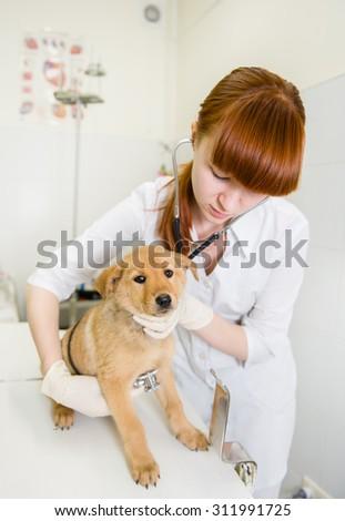 Female veterinarian examining a puppy dog - stock photo