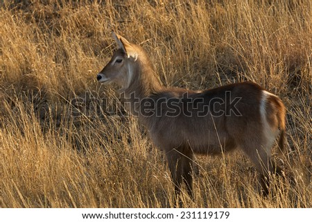 female waterbuck horizontally in the Kruger National Park - stock photo
