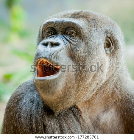 Female Western Lowland Gorilla (Gorilla gorilla gorilla) in the zoo looking out and interested with mouth open and teeth showing - stock photo