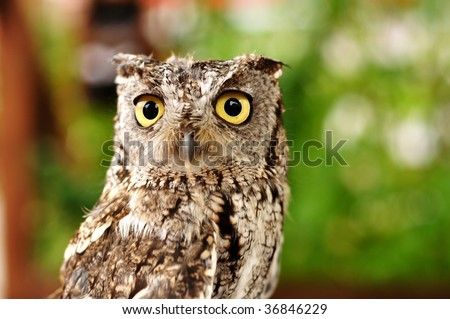 Female Western Screech Owl, Full Grown Adult, Copy Space