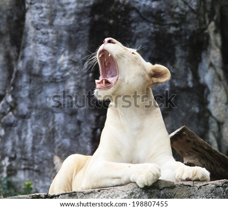 female white lion lying on rock cliff and roar  - stock photo