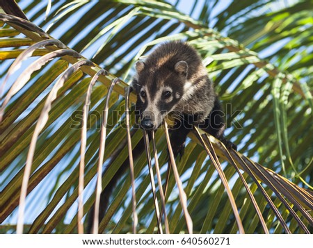 Female white nosed coati balanced on a palm branch