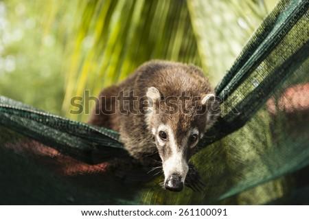 Female white nosed coati uses landscape fabric as a hammock - stock photo