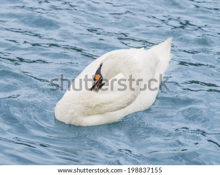 Female white swan grooming while floating on the Seine River - stock photo