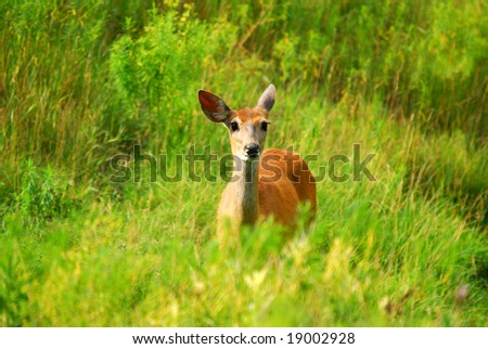 Female White-tailed Deer in a field of tall grass - stock photo