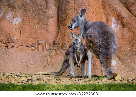 female with young, Red Kangaroo, Megaleia rufa