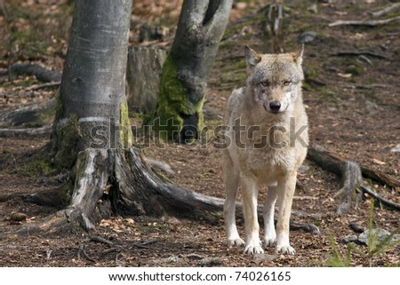 female wolf in Bavaria Forest, Germany