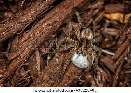 Female wolf spider with egg sac