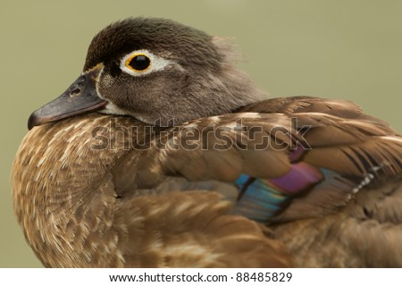 Female Wood Duck closeup isolated on green - stock photo
