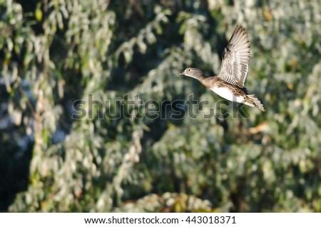 Female Wood Duck Flying