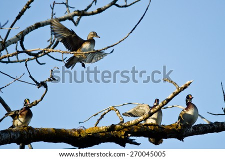 Female Wood Duck Joining the Party on the Tree Limb - stock photo