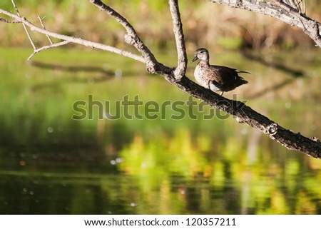 Female wood duck standing in a tree. - stock photo