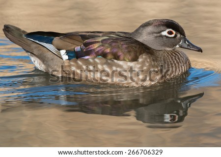 Female Wood Duck swimming in the open water. - stock photo