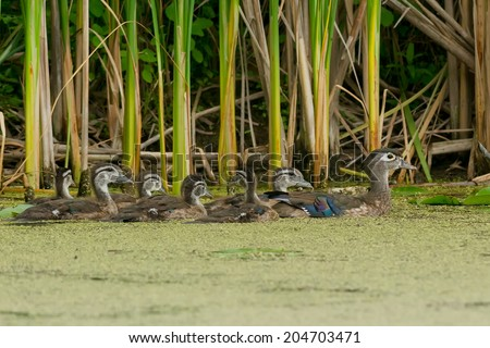 Female Wood Duck swimming with her clutch of ducklings in a mossy swamp. - stock photo