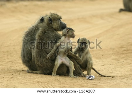 female yellow baboons and offspring - stock photo