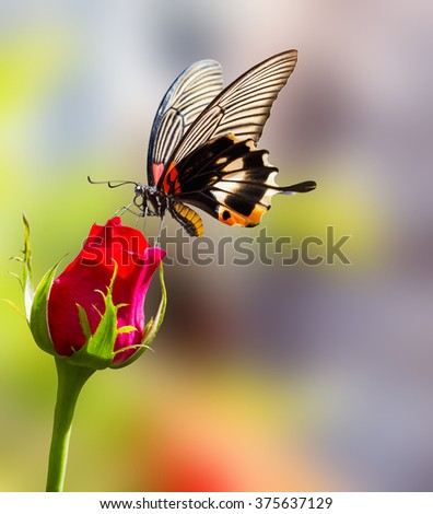 Female yellow body Great mormon Butterfly resting on rose flower - stock photo