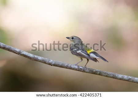 Female Yellow-rumped flycatcher (Ficedula zanthopygia) in nature of Thailand