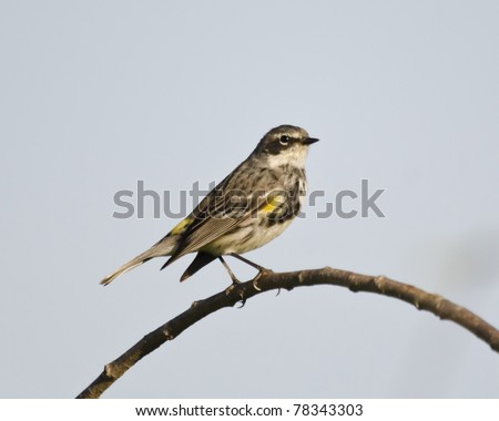 Female yellow-rumped or Myrtle warbler in a tree in breeding plumage - stock photo