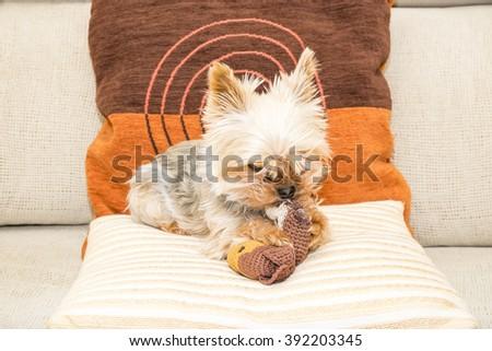 female yorkshire dog posing on a sofa  - stock photo