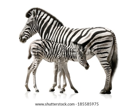 Female zebra and her baby isolated on white background with reflections - stock photo