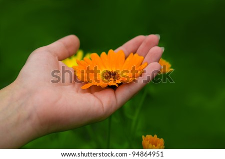 feminine hands holding marigold with green grass background - stock photo