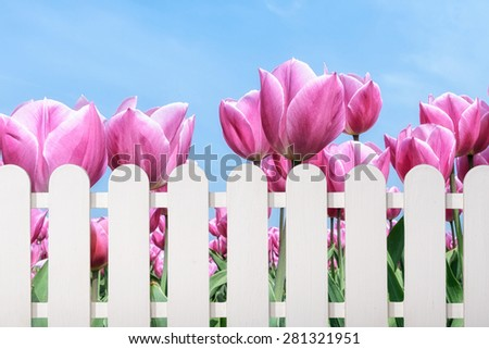 fence with blooming pink tulips under a blue sky - stock photo
