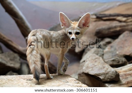 Fennec fox (Vulpes zerda). Wild life animal.  - stock photo