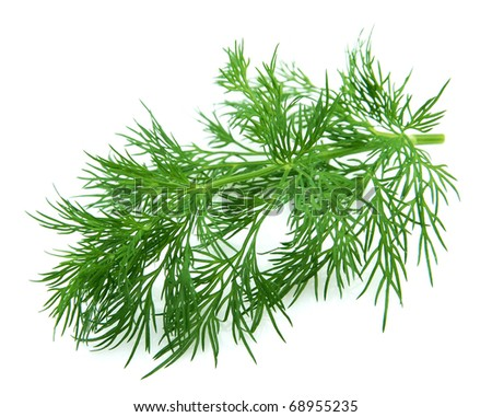 Fennel branch on a white background - stock photo