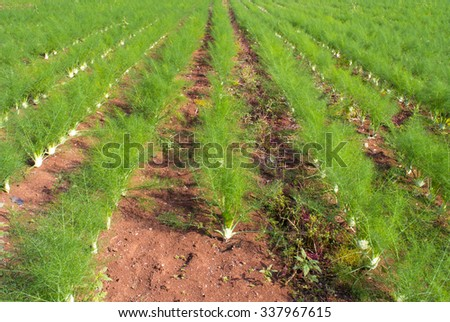 fennel cultivation - stock photo