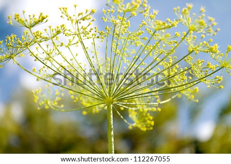 Fennel flower against a blue sky. - stock photo