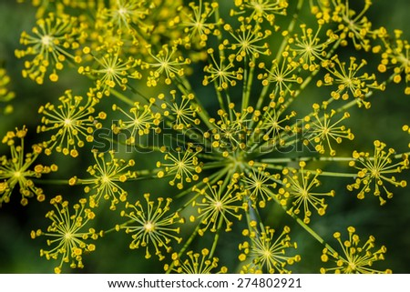 Fennel (Foeniculum vulgare). Fennel flower on a green background. Flower of dill. - stock photo