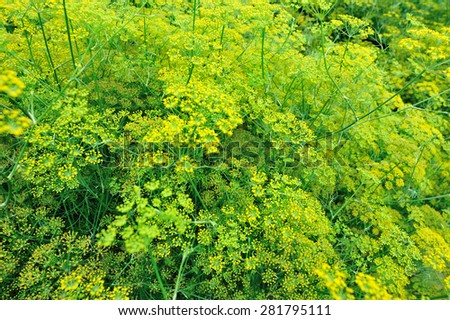 Fennel (Foeniculum vulgare) in growth at garden - stock photo