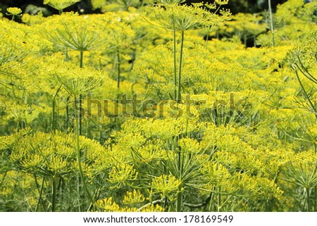Fennel growing in home garden, culinary dill in garden - stock photo