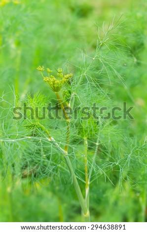 Fennel in garden. Foeniculum vulgare. Fennel seeds, fennel seed heads. - stock photo