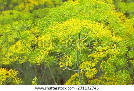 Fennel in garden, shallow DOF. - stock photo