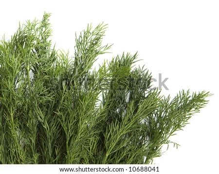 Fennel isolated on white background - stock photo