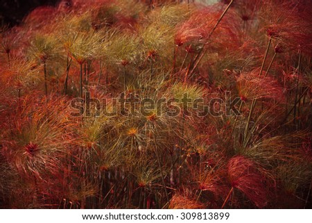 Fennel plant in the sunshine. Outdoor autumn background with fuzzy plant. - stock photo